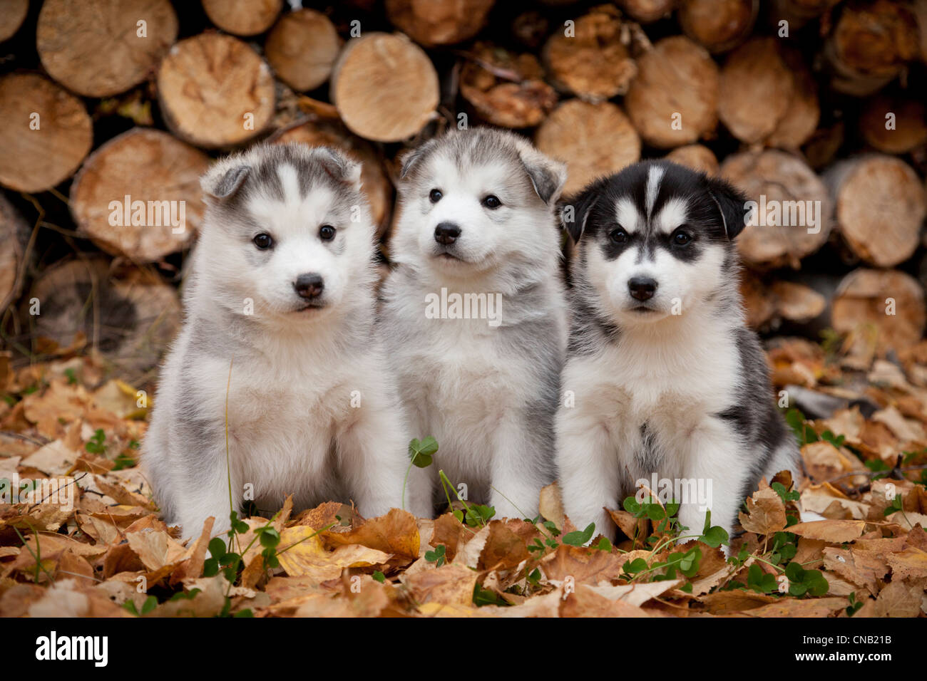 Puppies In Fall Wallpaper Siberian Husky Puppies Sit In Autumn Leaves In Front Of A