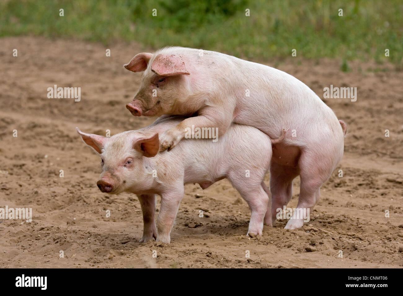 Cute Piggies Wallpaper Baby Duroc Www Pixshark Com Images Galleries With A Bite