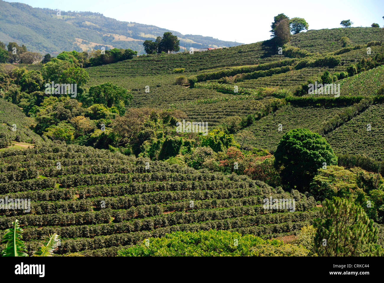 Costa Coffee Arabica Robusta Arabica Coffee Beans Plantation Near Poas Volcano Central