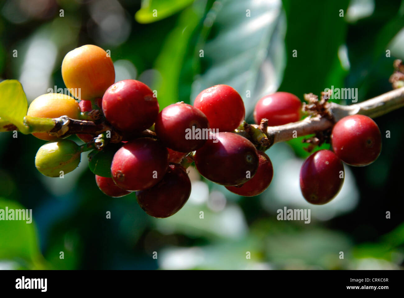 Costa Coffee Arabica Robusta Poas Costa Rica Coffee Stock Photos And Poas Costa Rica