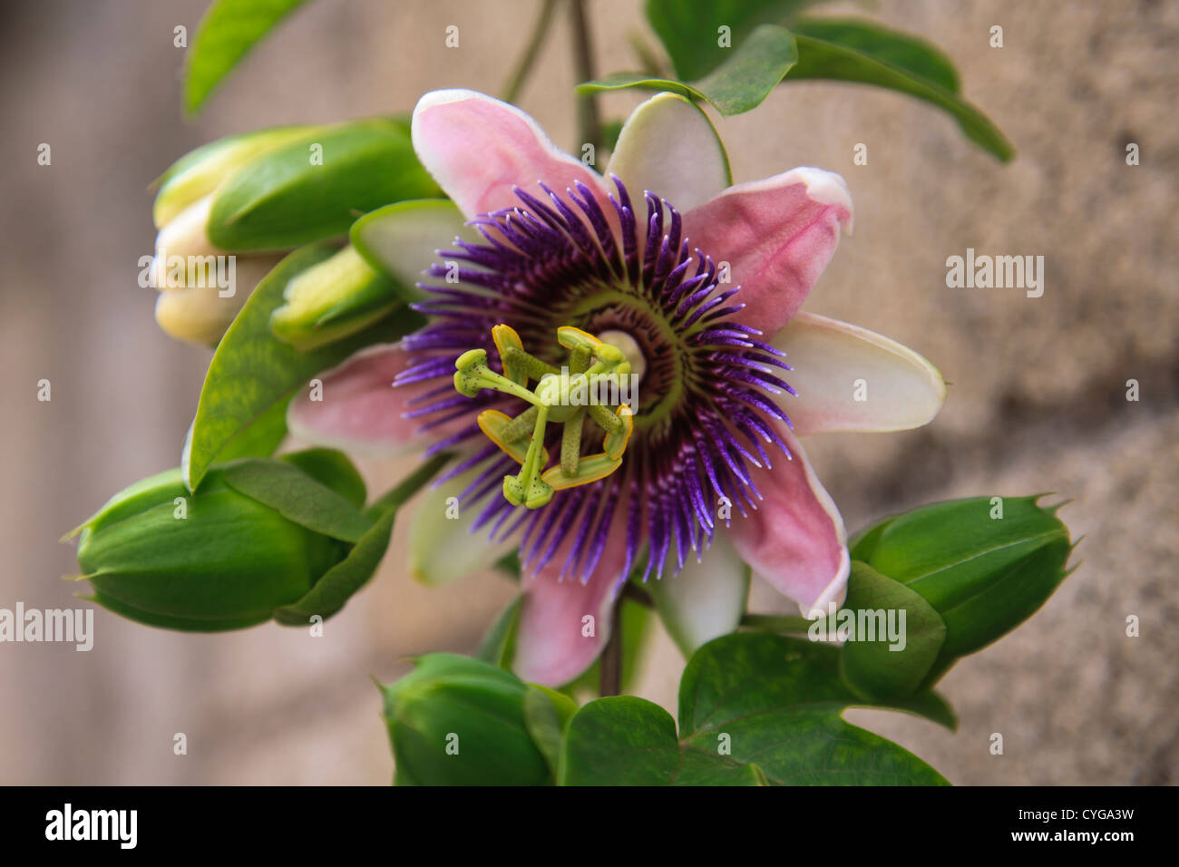 Passiflora Edulis Maracuja Stock Photos And Maracuja Stock Images Alamy