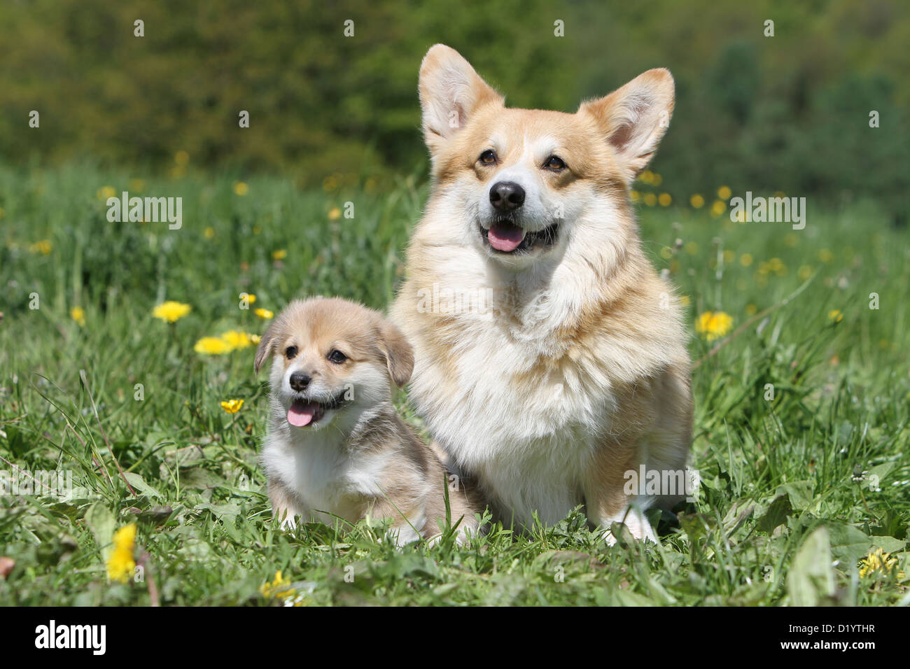 Cute Baby Puppy Pictures Wallpaper Dog Pembroke Welsh Corgi Adult And Puppy Sitting On A