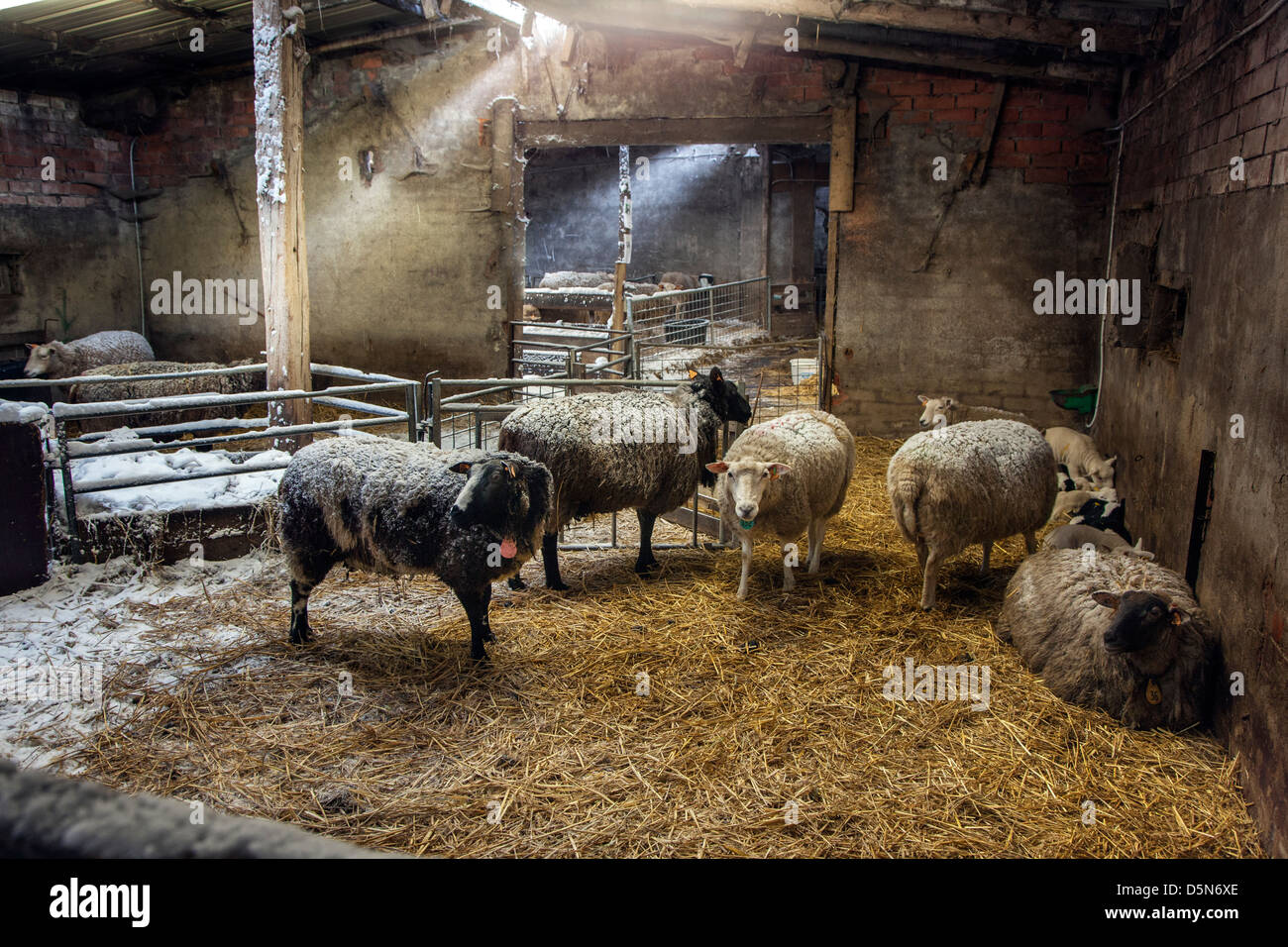 Clipart Bauen Domestic Sheep, Ewes And Lambs In Barn / Sheepfold At Farm
