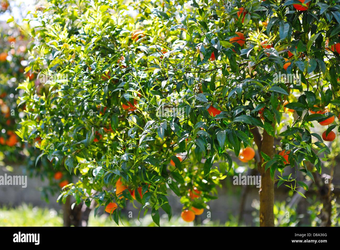 Orange Tree In Citrus Grove Stock Photos Orange Tree In