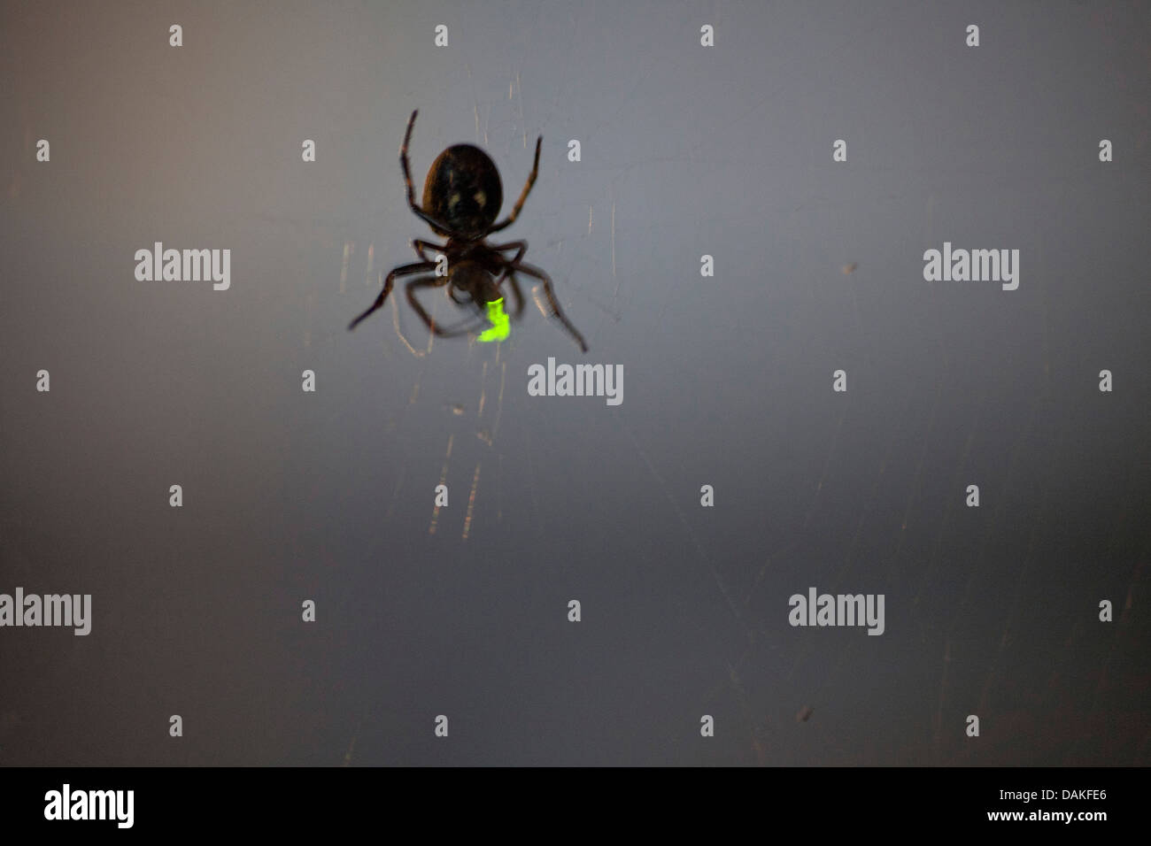 Firefly Insect At Night Glowworms Fireflies Lightning Bugs Lampyridae Spider