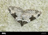 Garden Carpet moth (Xanthorhoe fluctuata Stock Photo ...