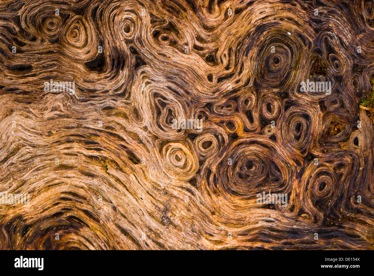 Wurzelholz Textur Root Wood Of An Old Oak Tree Quercus Detailed View