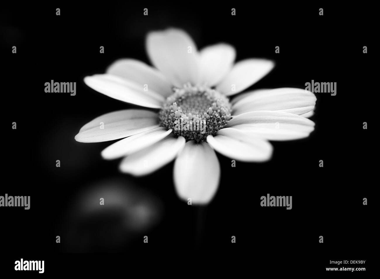 Cuadros En Blanco Y Nego Flores En Blanco Y Nego Top Premium Stock Photo Of Tonos
