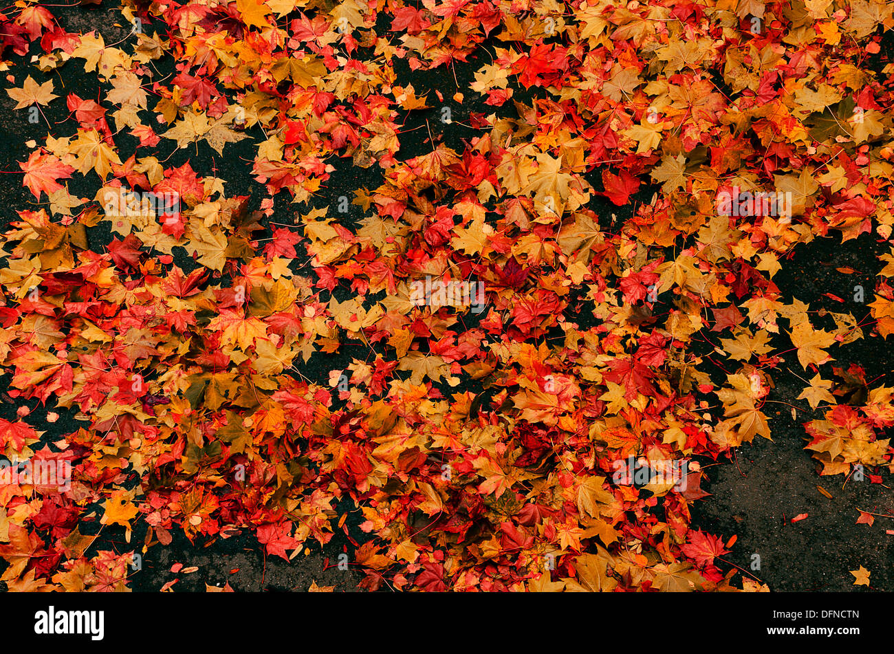 Autumn Fall Live Wallpaper Autumn Scene Of Fallen Red Amp Yellow Plane Tree Leaves On
