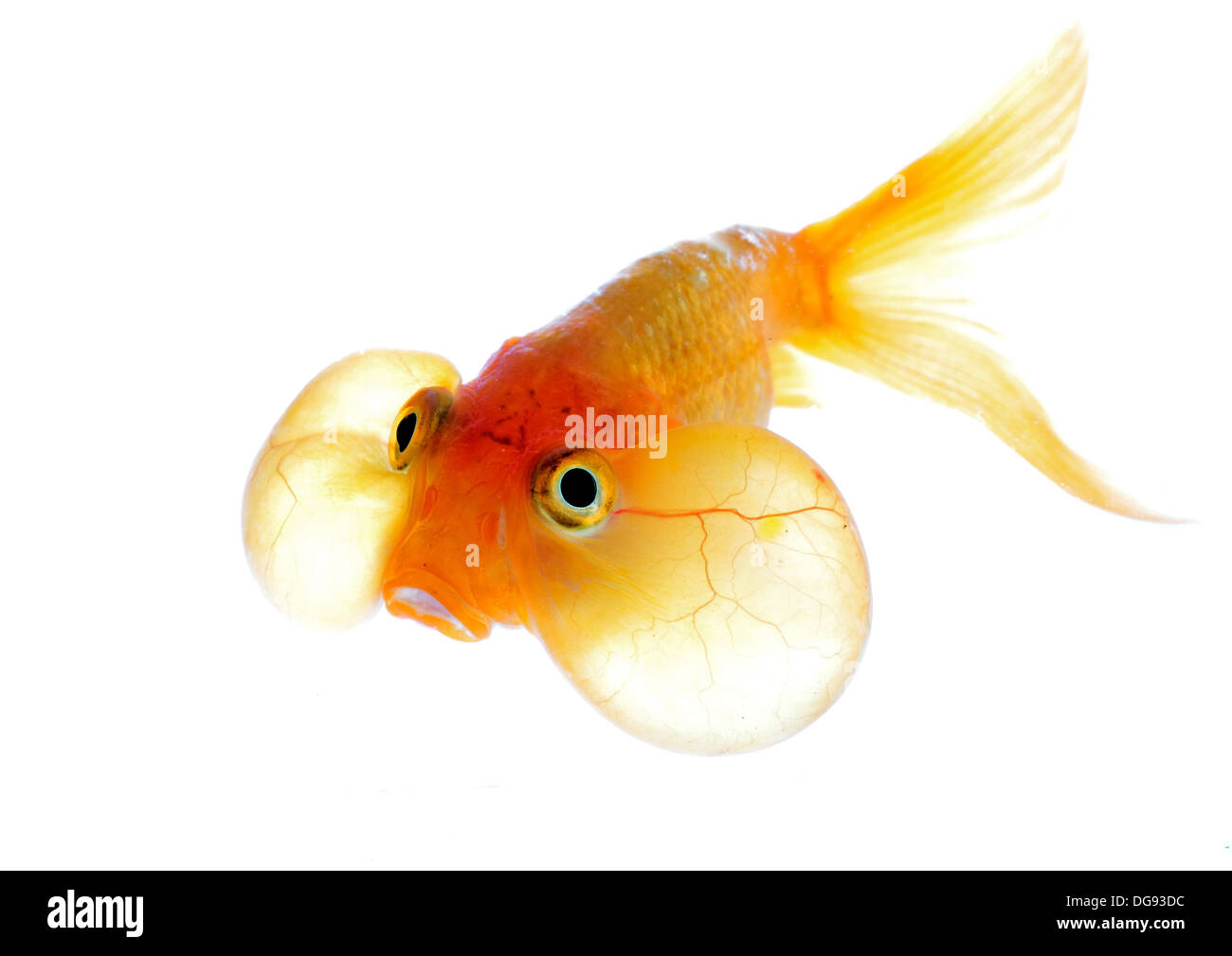 Poissonbulle Eye Appeal Stock Photos Eye Appeal Stock Images Alamy