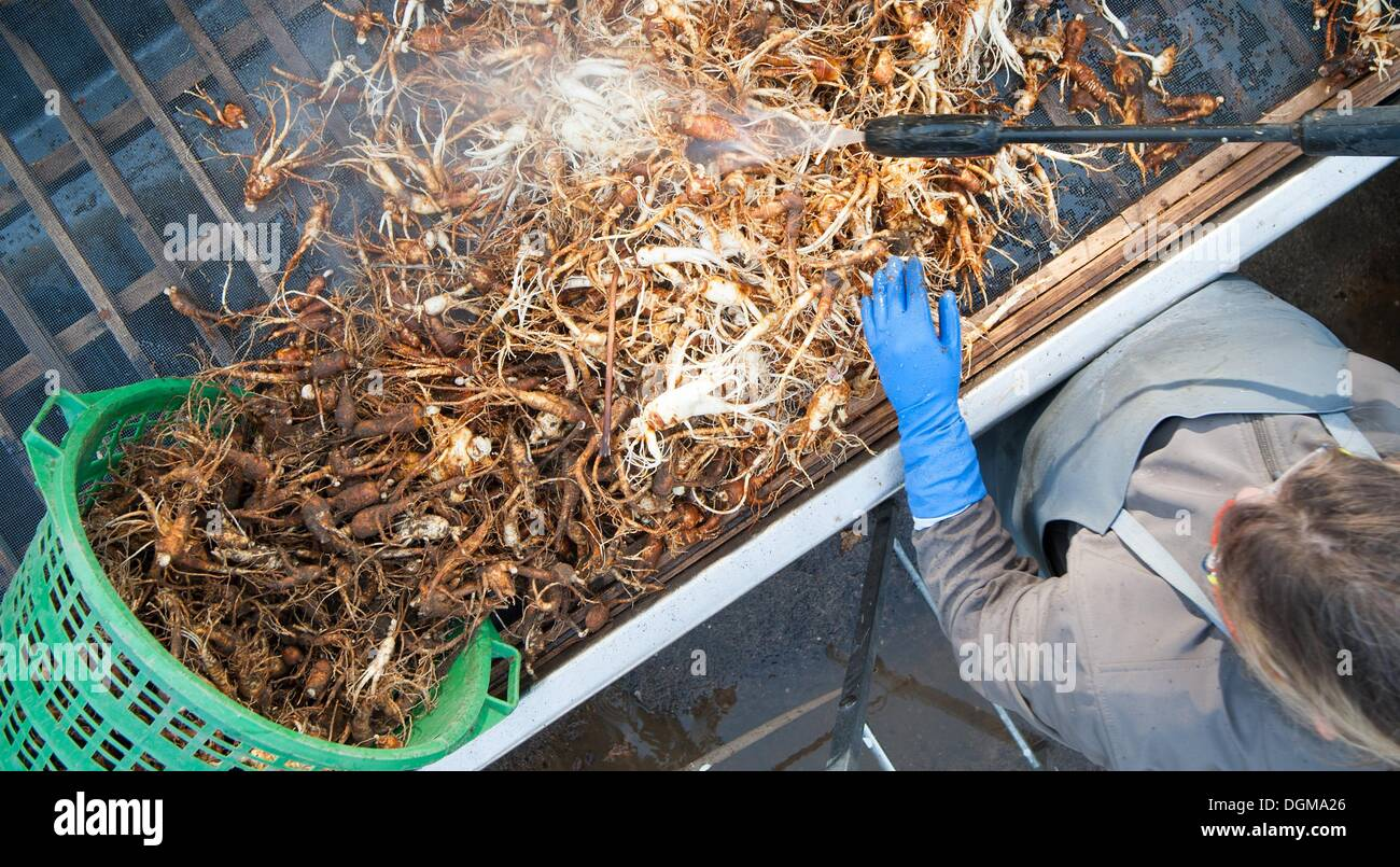 Ginseng In Deutschland Bockhorn Germany 22nd Oct 2013 Henrike Rodemeier Cleans