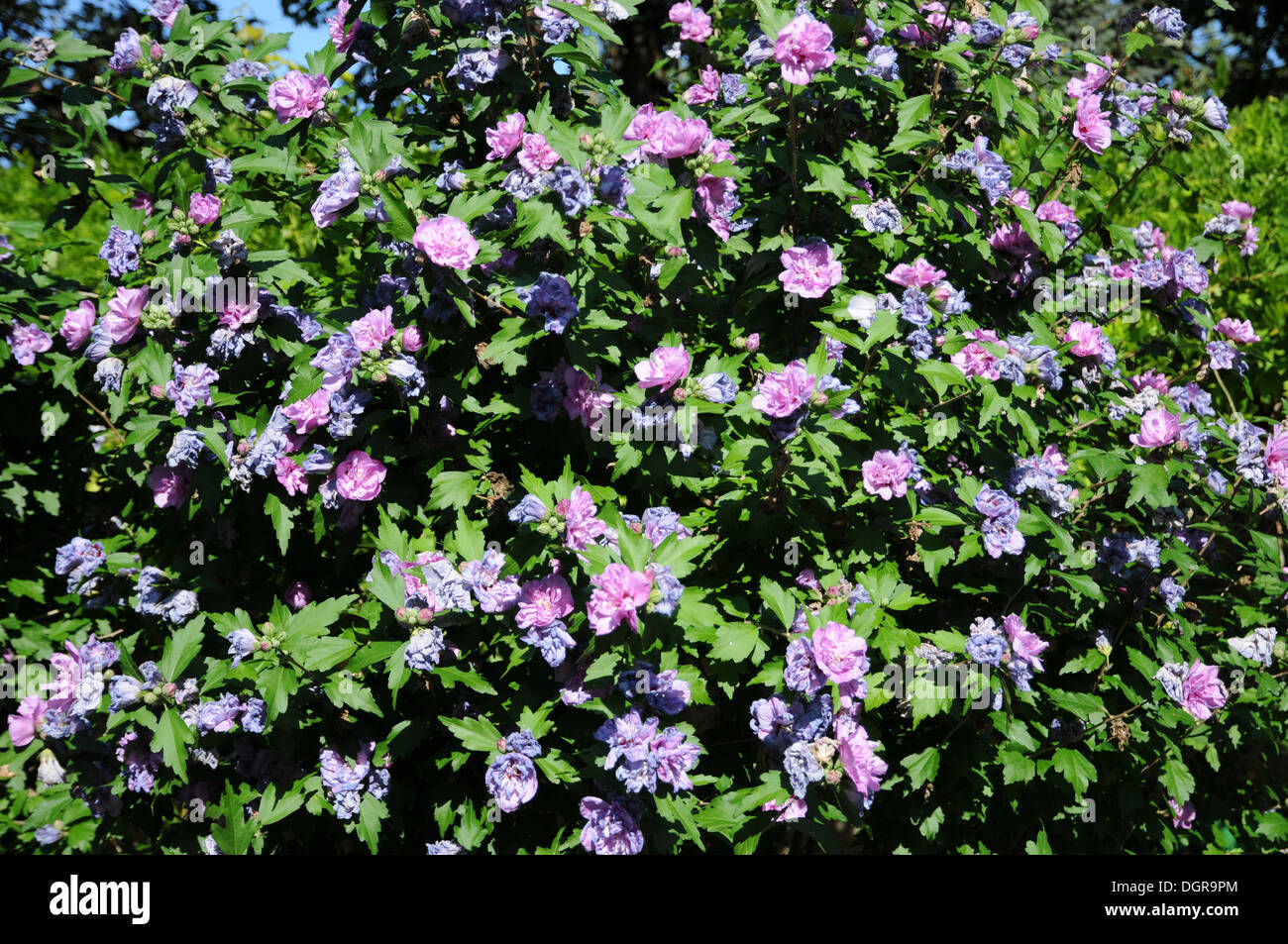 Strauch Sommerblüher Shrub Mallow Stock Photo 61978188 Alamy