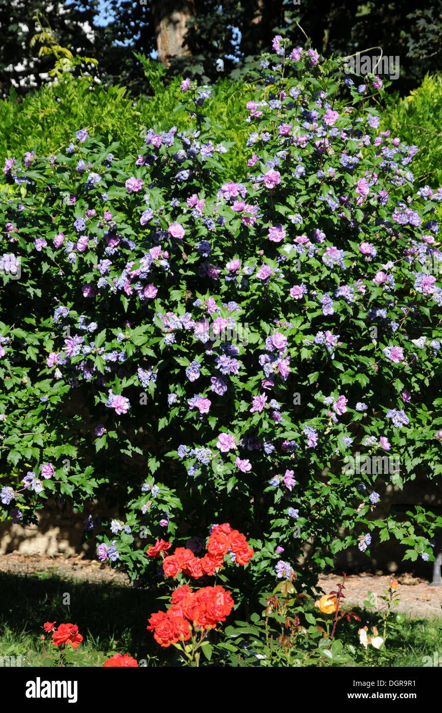 Strauch Sommerblüher Shrub Mallow Stock Photo 61978197 Alamy
