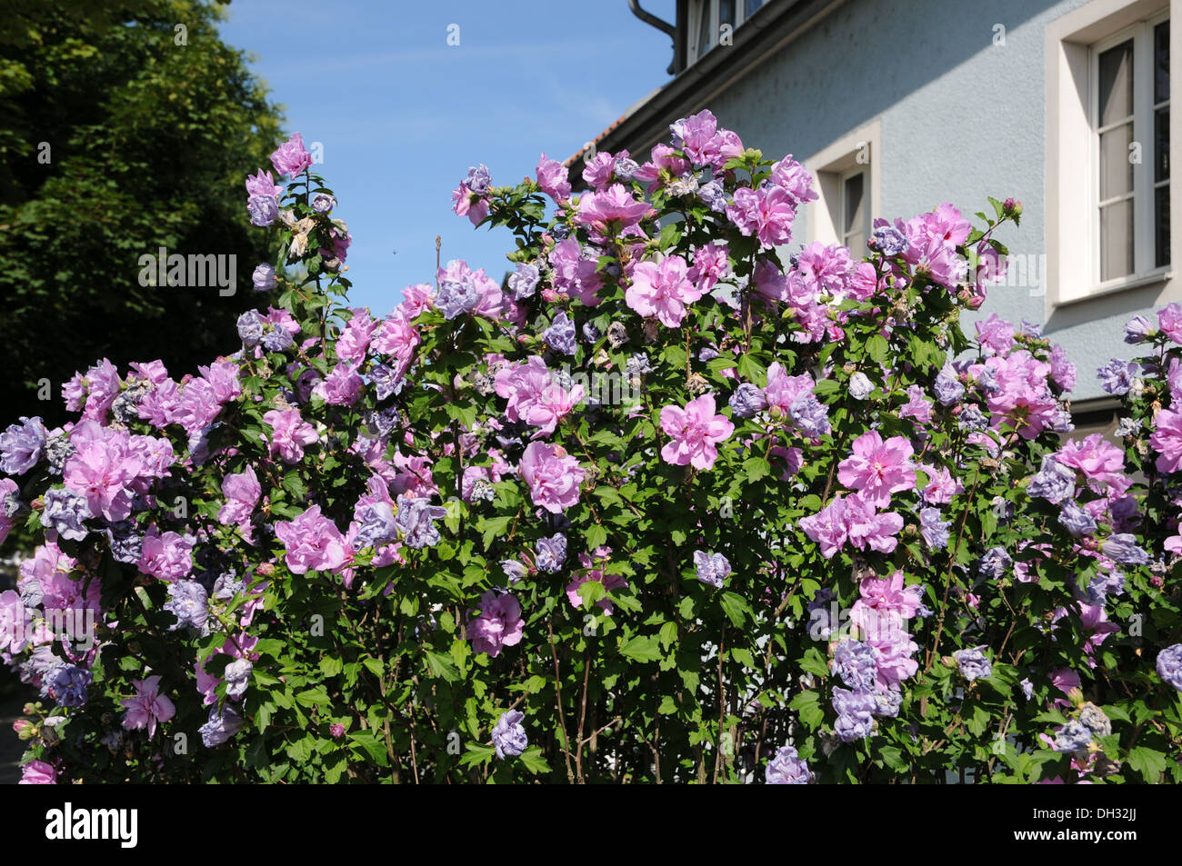 Strauch Sommerblüher Shrub Mallow Stock Photo 62148202 Alamy