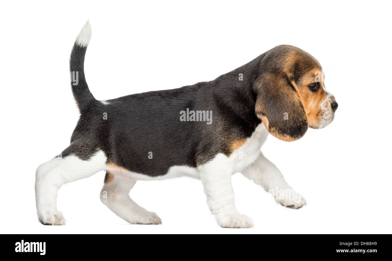 Bettwäsche Dog Side My Side Side View Of A Beagle Puppy Walking Against White