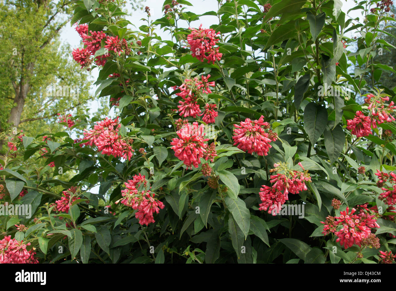 Strauch Sommerblüher Cestrum Elegans Hammerstrauch Stock Photo 62785428 Alamy