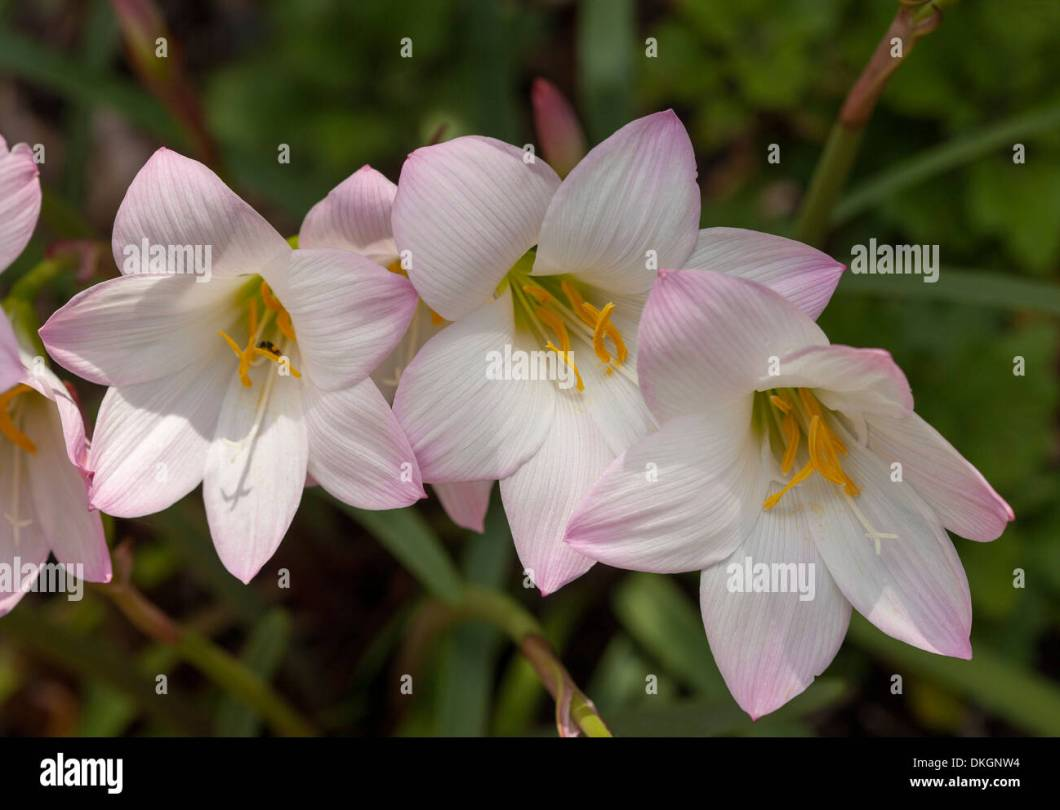 Summer flowering bulbs white find your world cer of delicate pink and white flowers habranthus robustus mightylinksfo