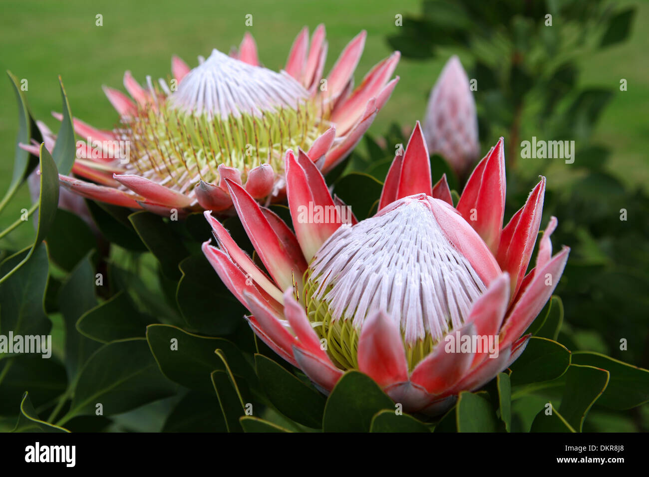 Blume Südafrika King Protea, National, Flower, South Africa, Africa