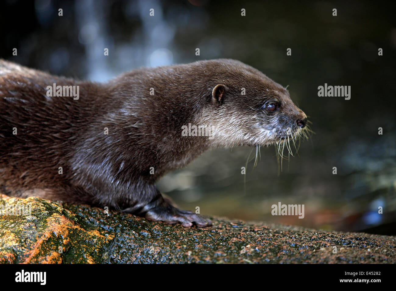Pet Otter Australia Oriental Small Clawed Otter Amblonyx Cinerea Adult Native To