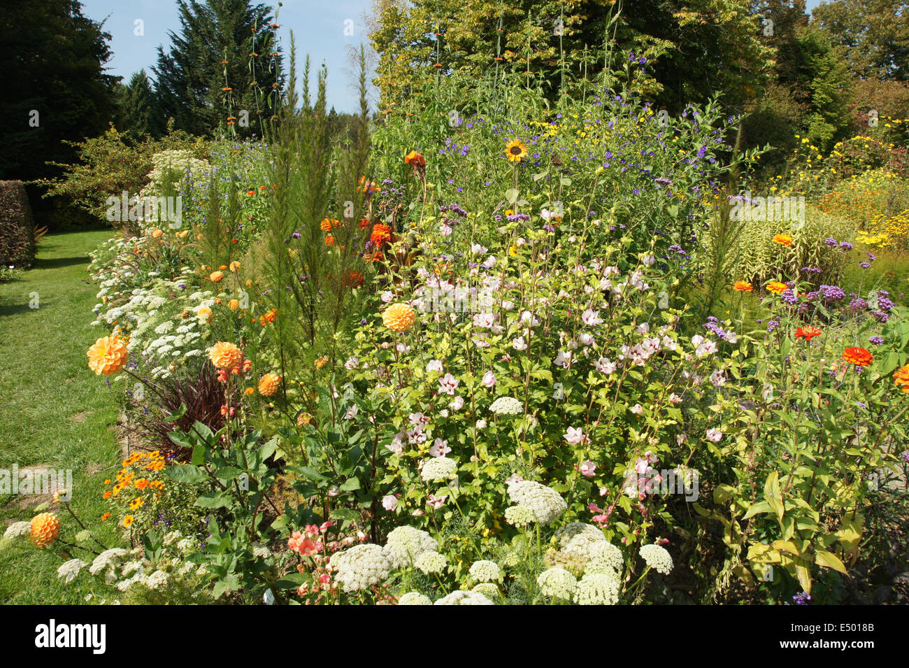 Strauch Sommerblüher Shrub Althea Stock Photo 71915771 Alamy