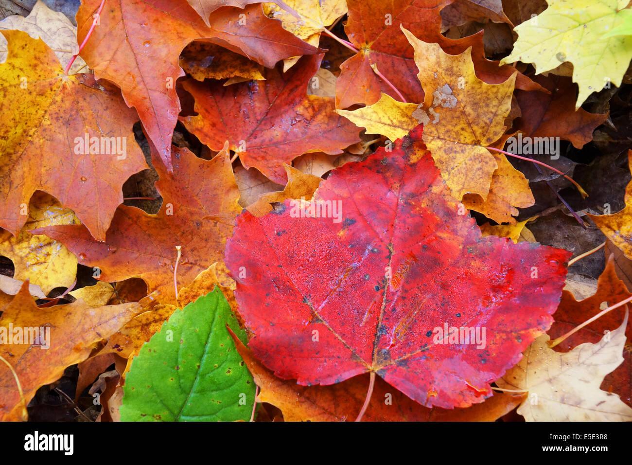 Beautiful Green Maple Leaf Wallpaper Stock Photos