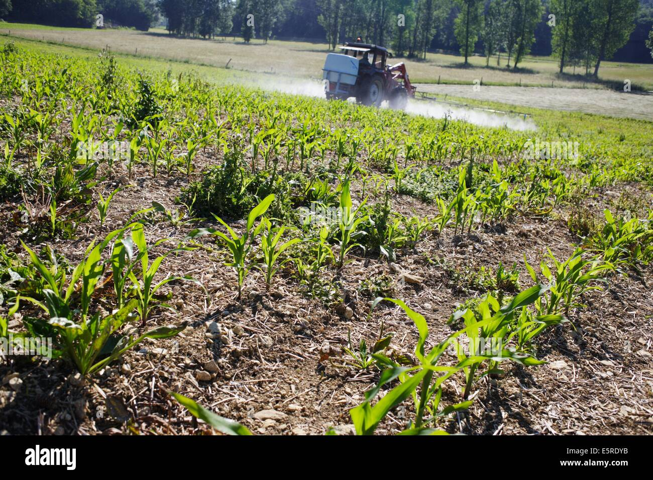 Sustainable Farmer Farmer Spraying Chemicals On Corn Fields This Farmer Uses Stock