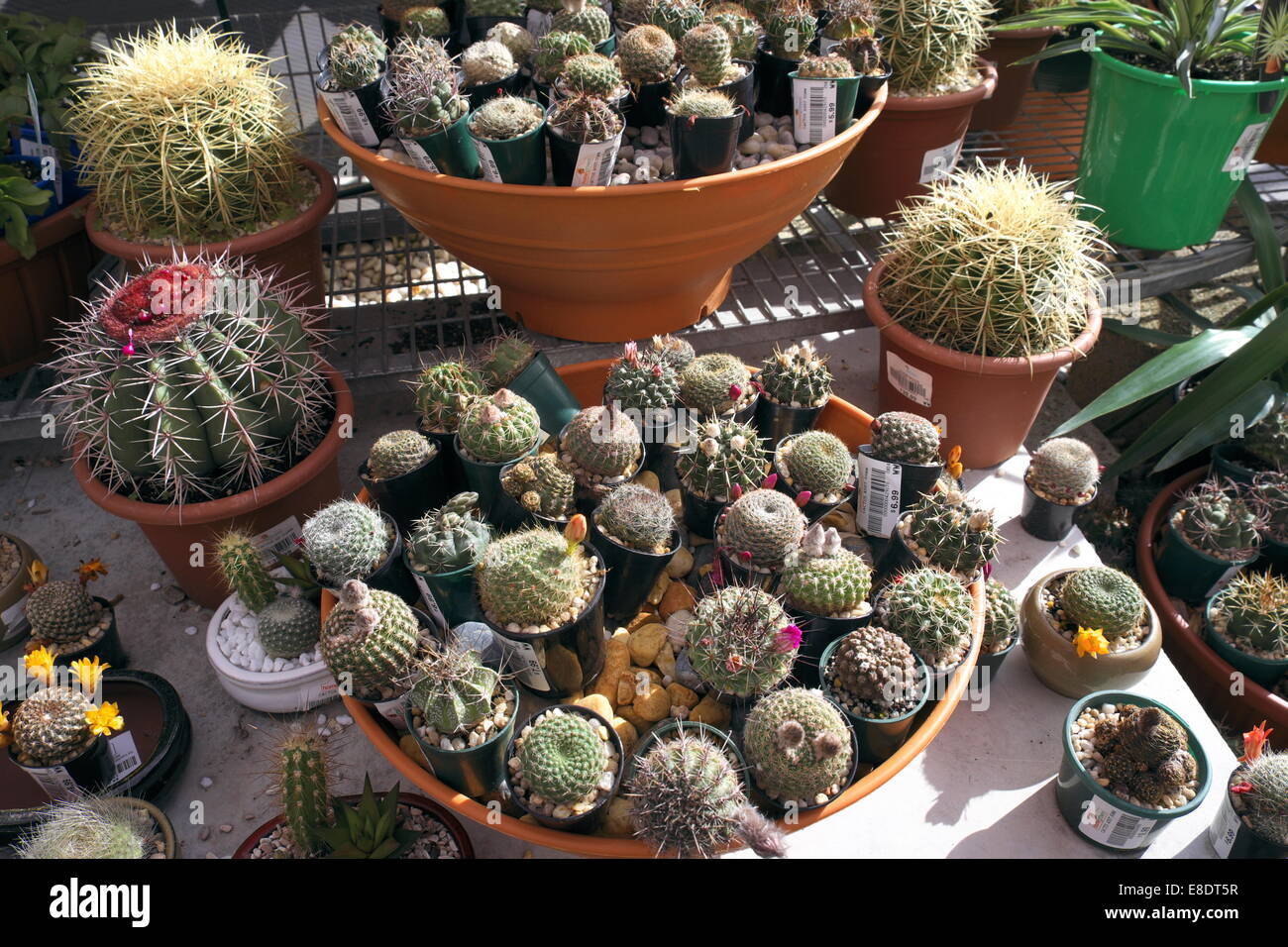 Buy Plants Sydney Cactus Cacti Cactuses For Sale In A Sydney Garden Centre