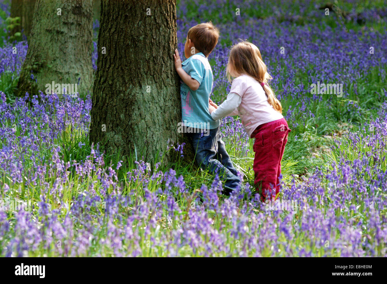 Hide And Seek Kids Children Playing Hide Seek In A Bluebell Wood Chilterns Herts