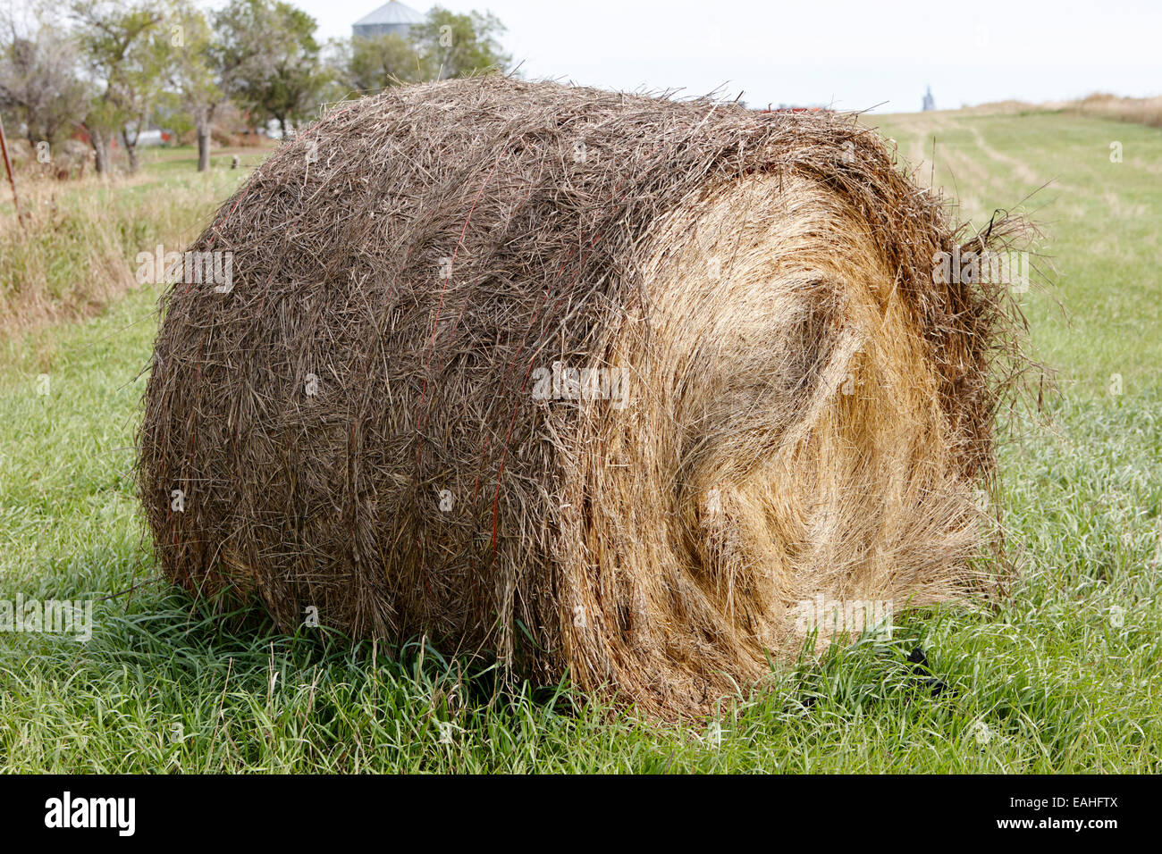 Feed Hay Rolled Hay Bale In A Grass Field For Winter Animal Feed