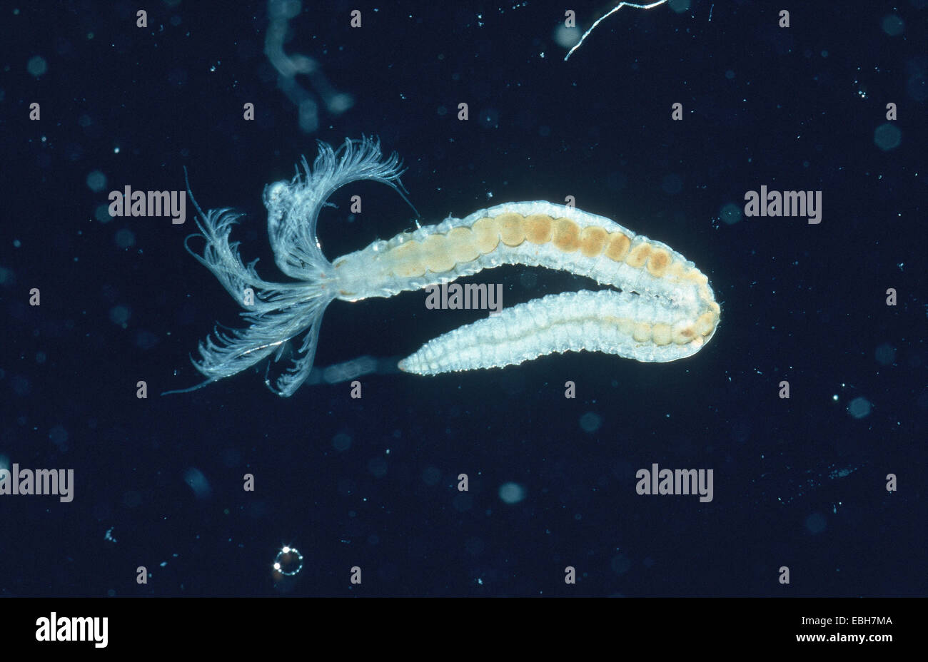 Sabella Mobili Worm Fabricia Sabella Stock Photo 75981930 Alamy