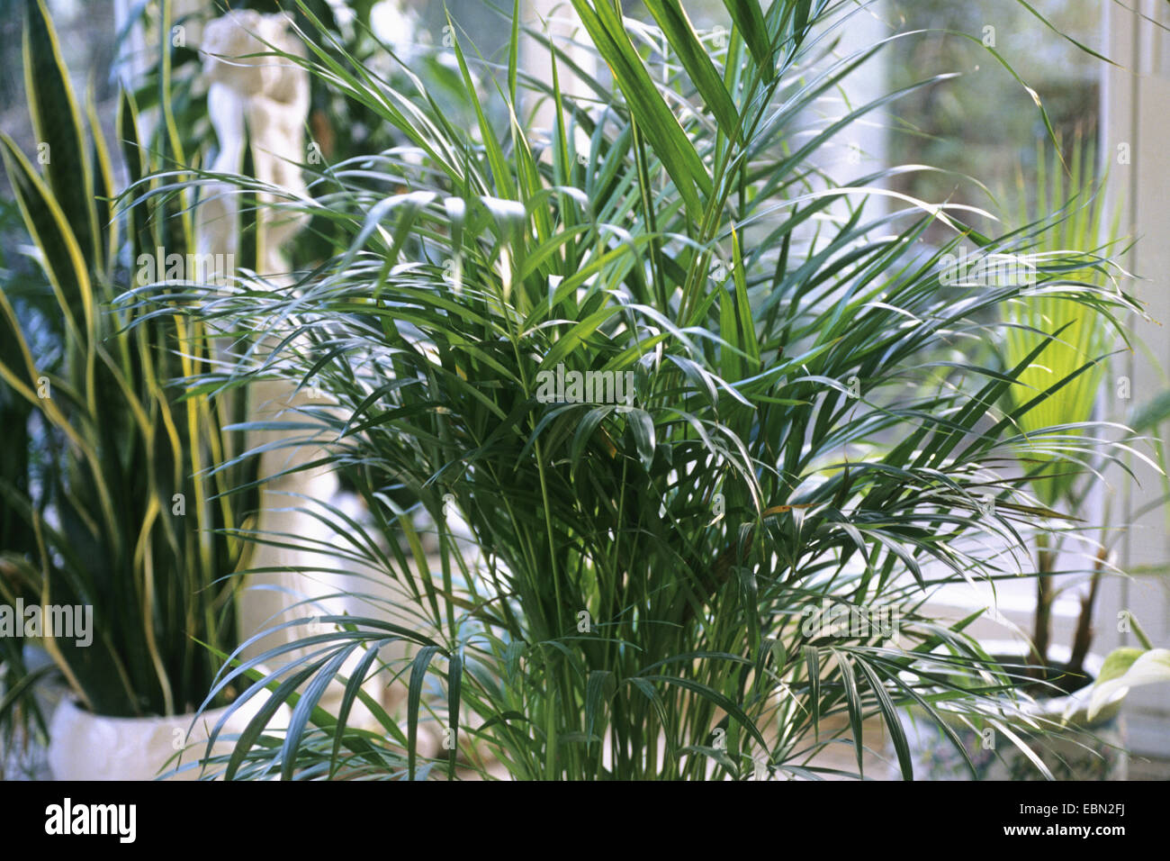 Chrysalidocarpus Space For Life Areca Palm Stock Photos Areca Palm Stock Images Alamy