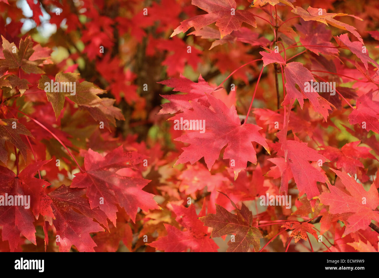 Ahorn October Glory Red October Glory Maple Leaves Stock Photos Red October