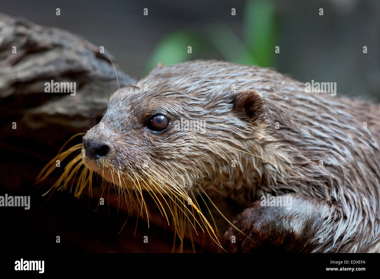 Pet Otter Australia Asian Small Clawed Otter Stock Photos Asian Small Clawed Otter