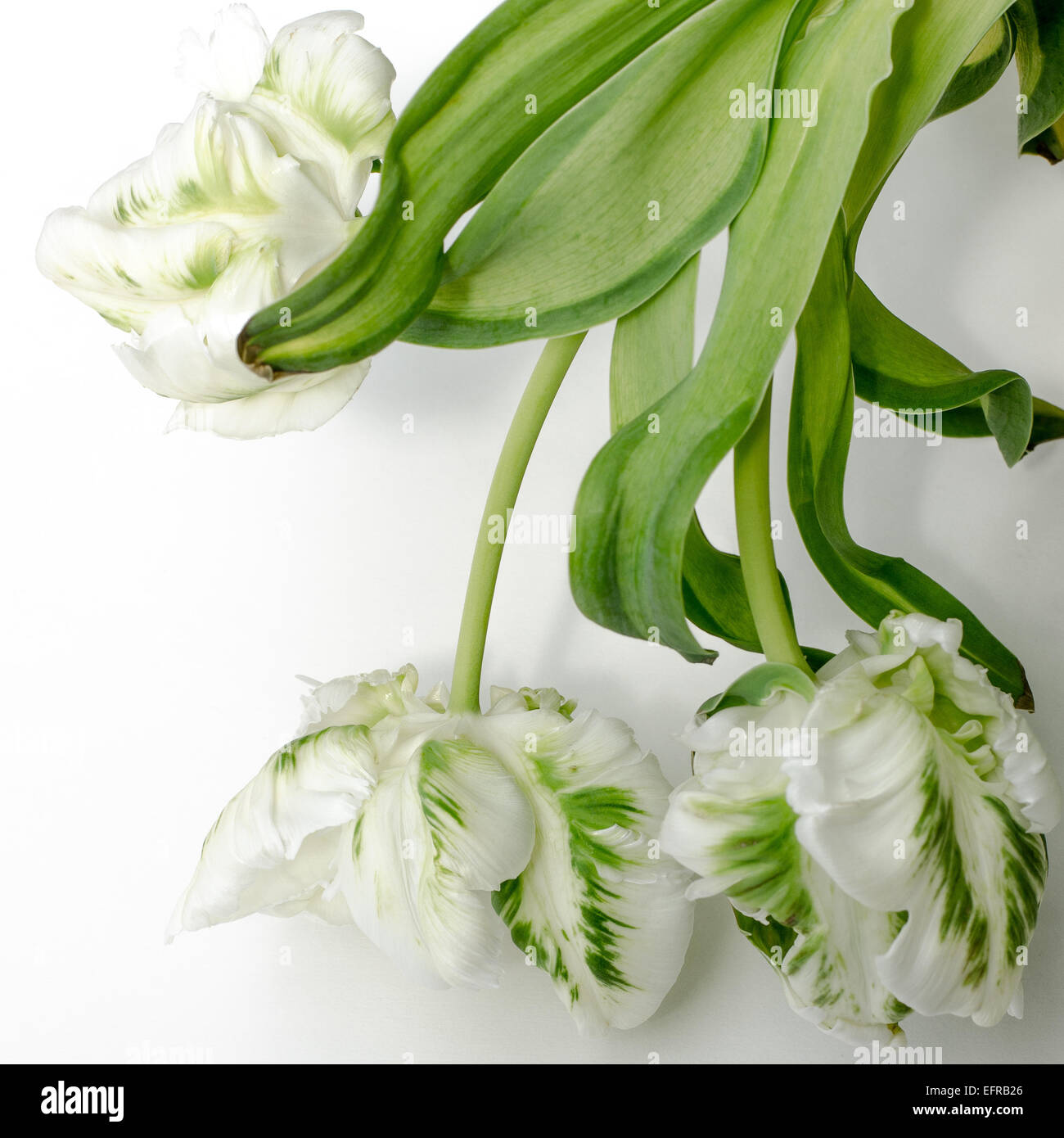 Falling Leaves Live Wallpaper Parrot Tulips White And Green Stock Photo Royalty Free
