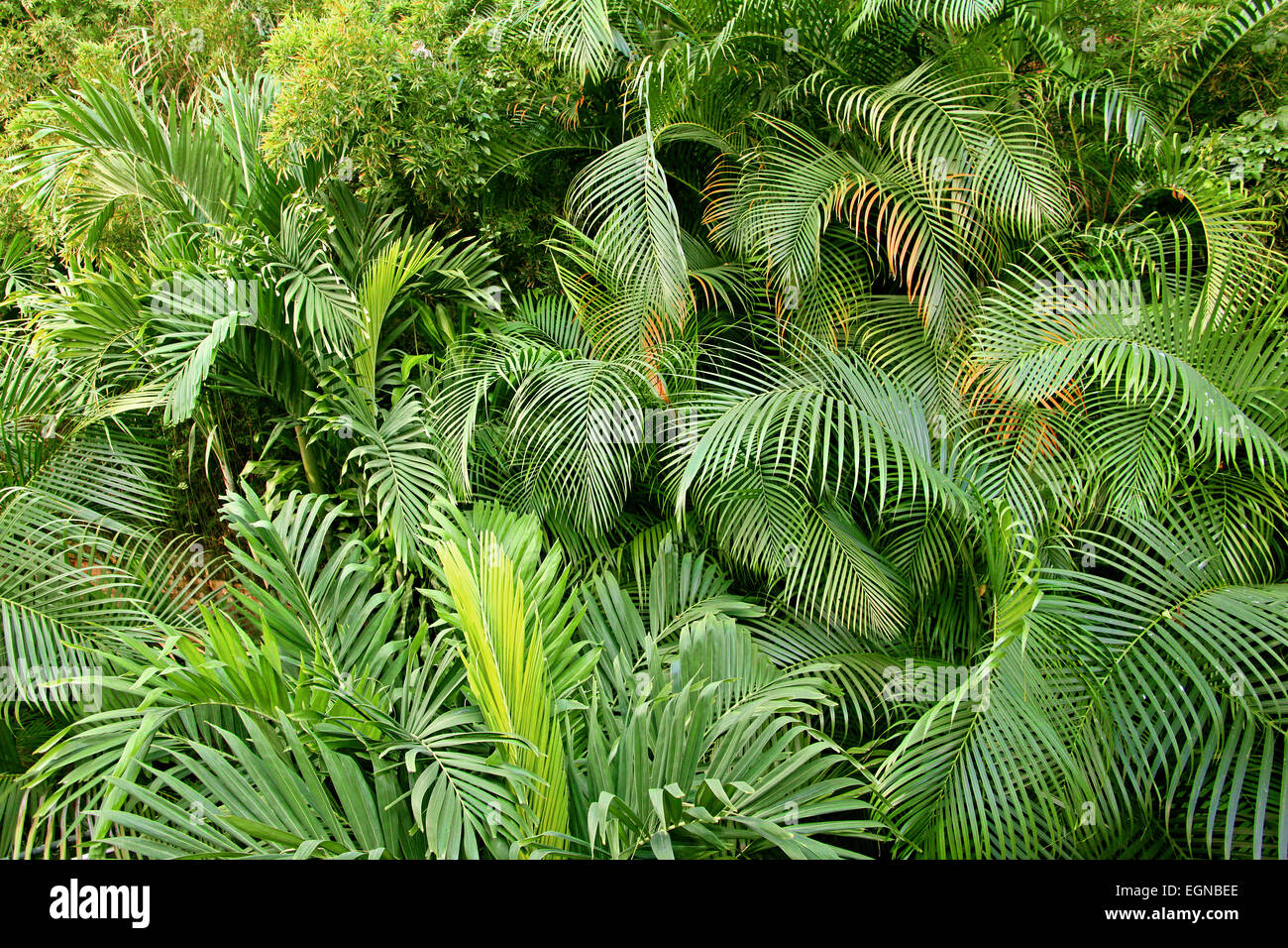 Yellow Palm Areca Palm Chrysalidocarpus Lutescens Areca Palm Chrysalidocarpus Lutescens Stock Photos And Areca