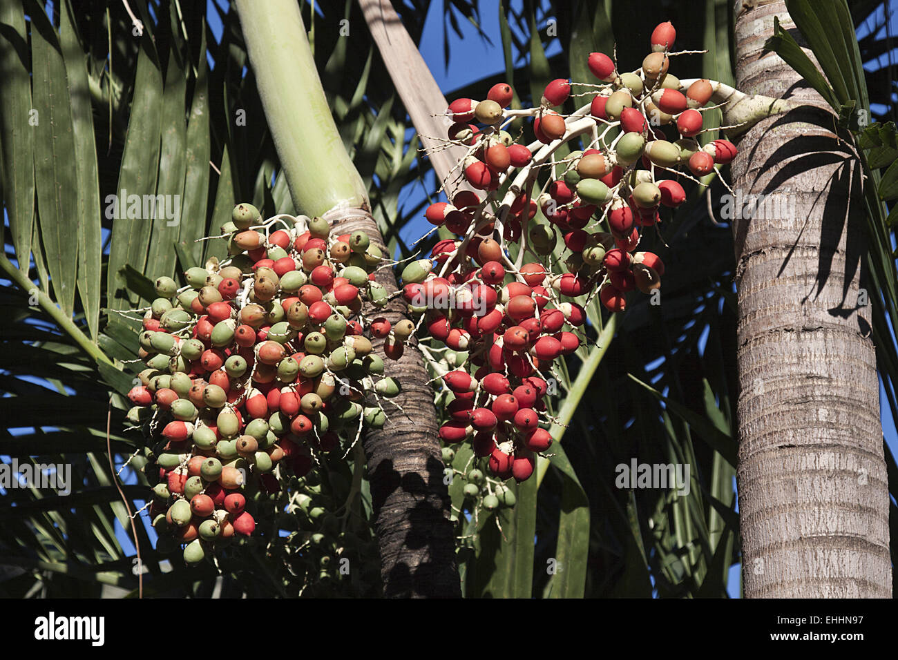 Yellow Palm Areca Palm Chrysalidocarpus Lutescens Areca Palms Stock Photos And Areca Palms Stock Images Alamy