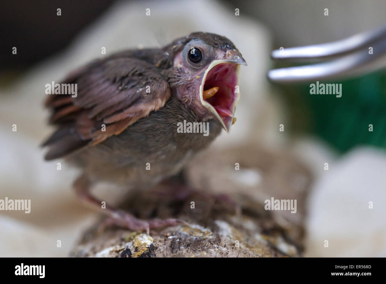Baby Cod Baby Bird At Wild Care Cape Cod Stock Photo 83093261 Alamy