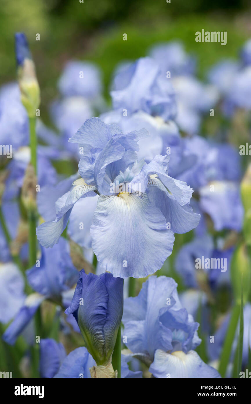 Philips Iris Tall Bearded Iris Jane Philips Flower Stock Photo 83442450 Alamy