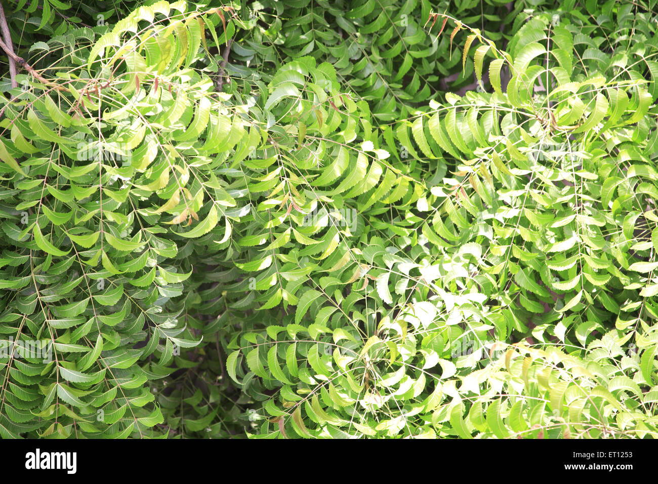 Asiatische Moringa Margosa Stock Photos Margosa Stock Images Alamy