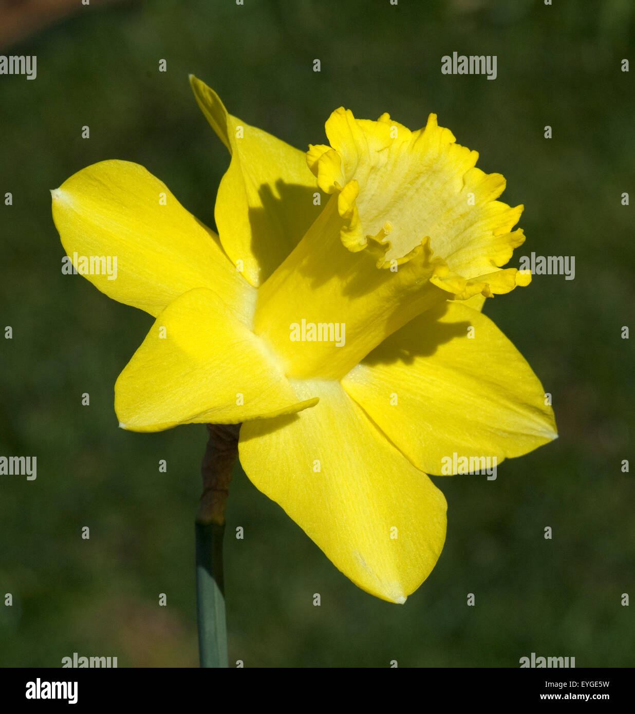 Osterglocken Giftig Narzisse Narcissus Narzissen Osterglocke Stock Photo