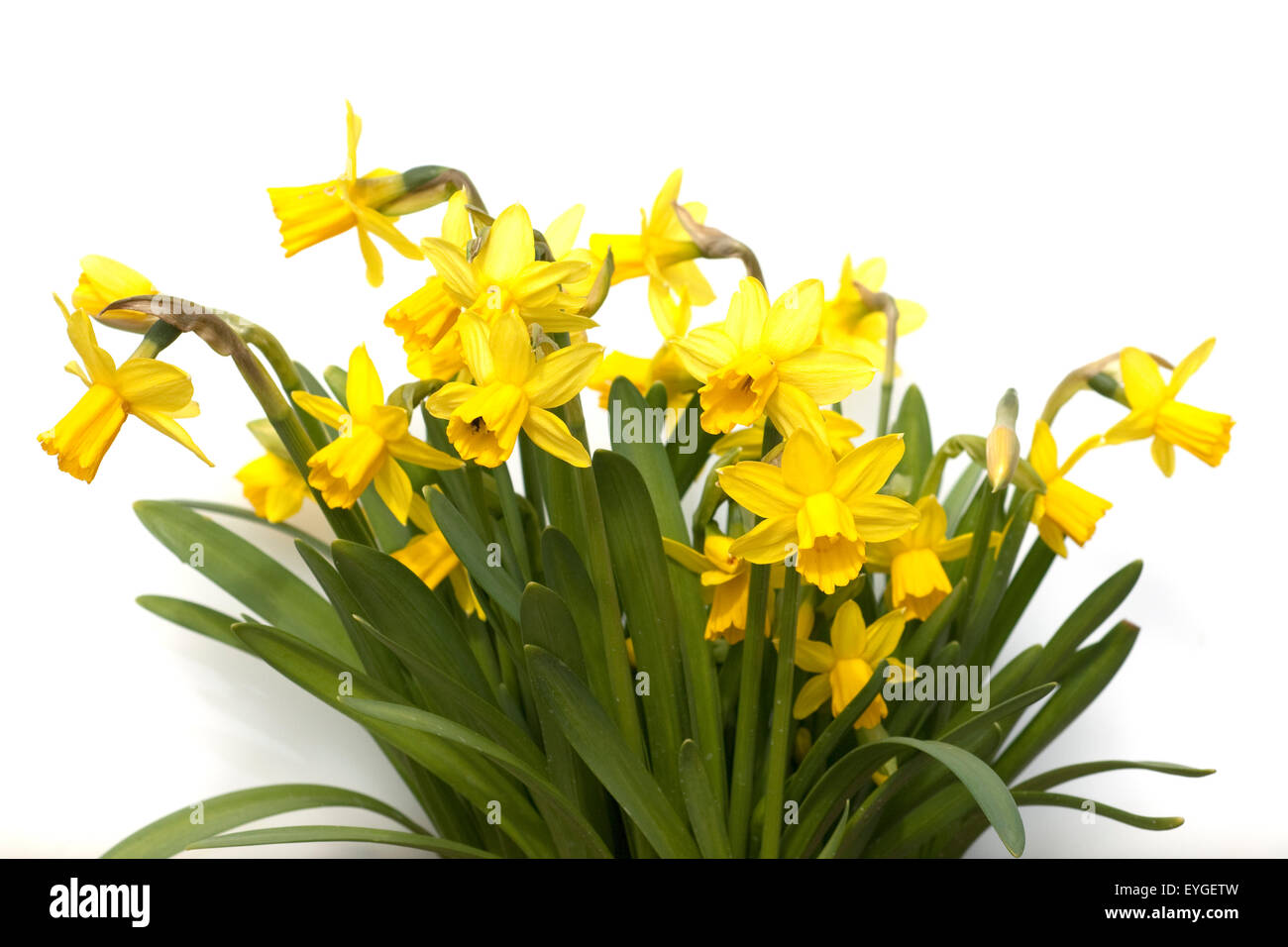 Osterglocken Giftig Narzisse Tete A Tete Narcissus Osterglocke Stock Photo