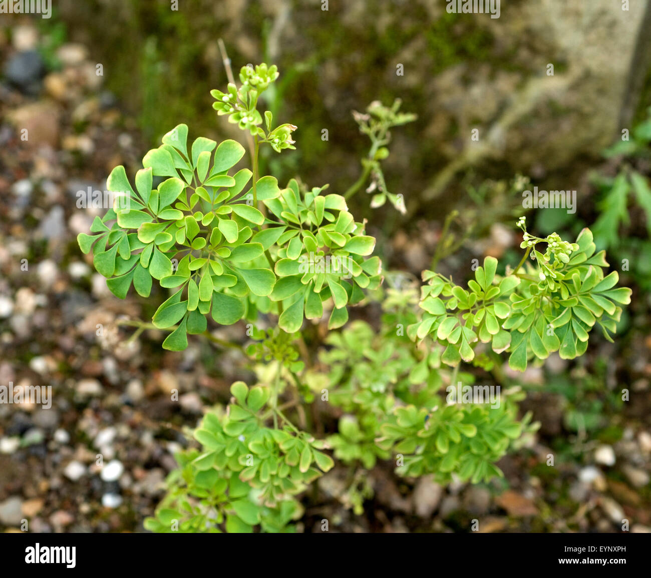 Asiatische Moringa Heimische Wildpflanze Stock Photos Heimische Wildpflanze Stock