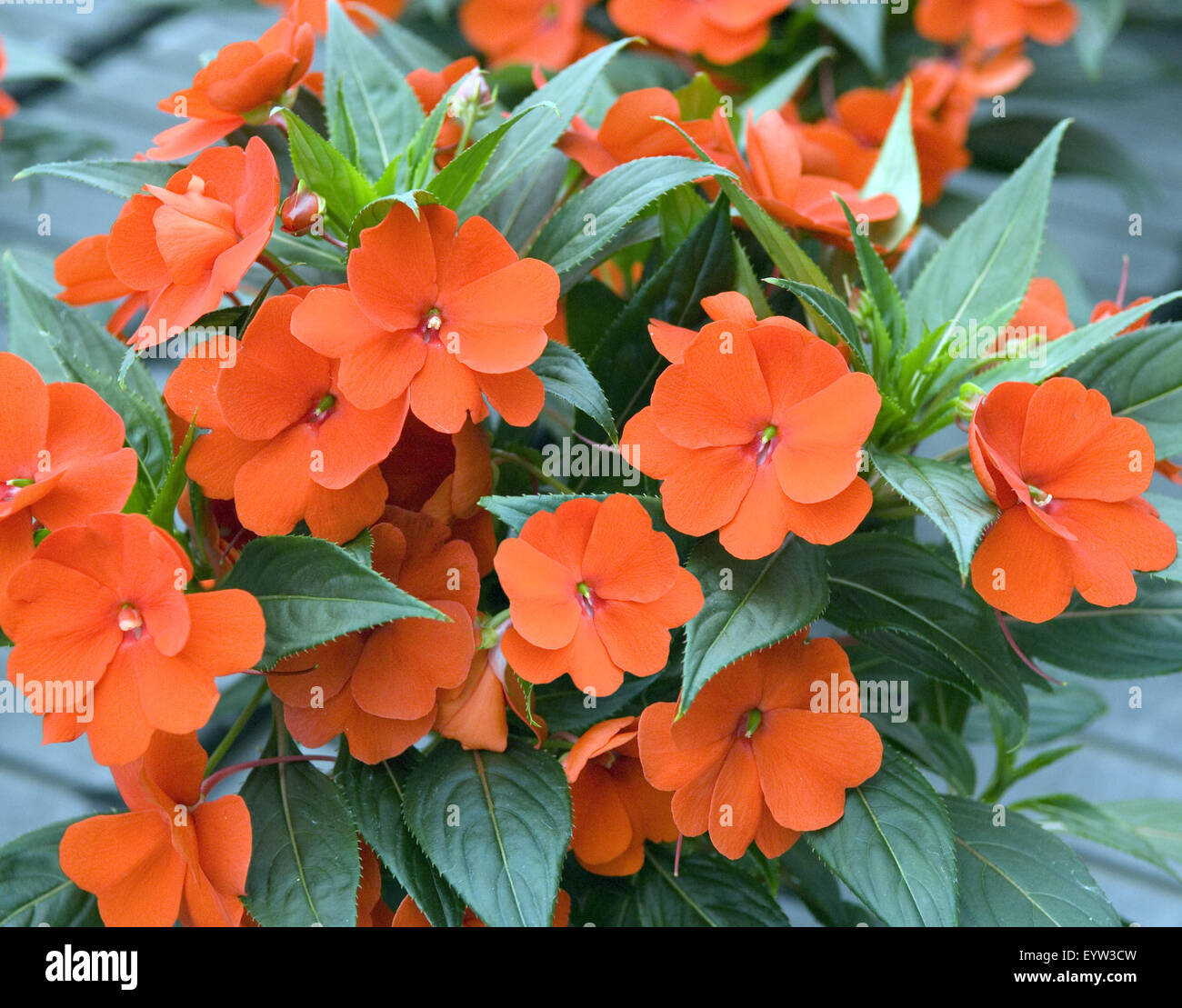 Zierpflanze Fleißiges Impatiens Neu Guinea Hybriden Stock Photo 85988697 Alamy