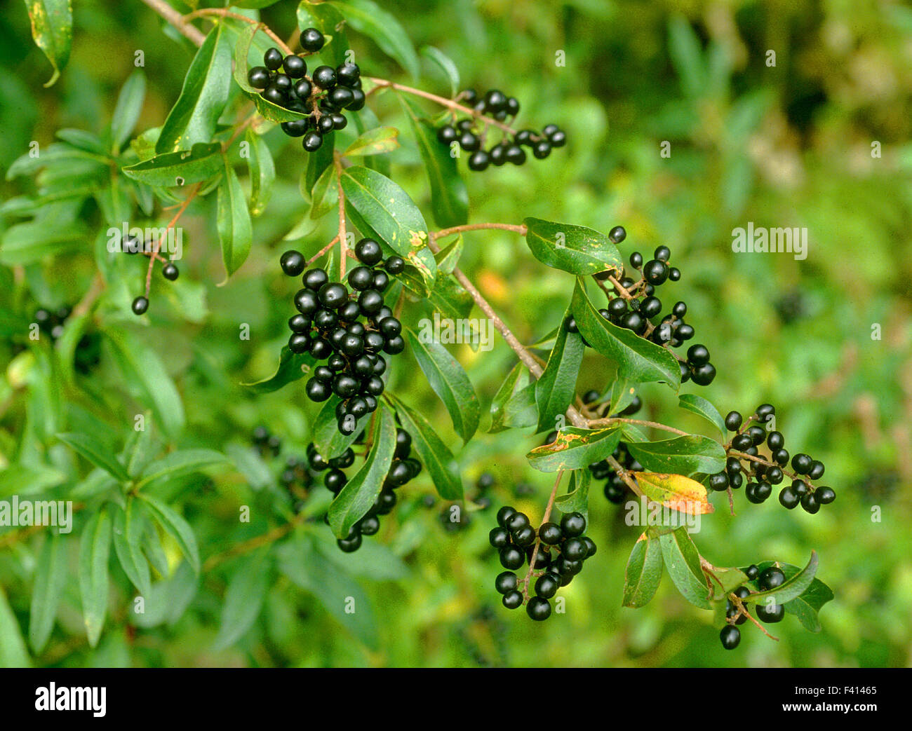 Liguster Pflanze Rätsel Berry; Shrub; Liguster Stock Photo, Royalty Free Image