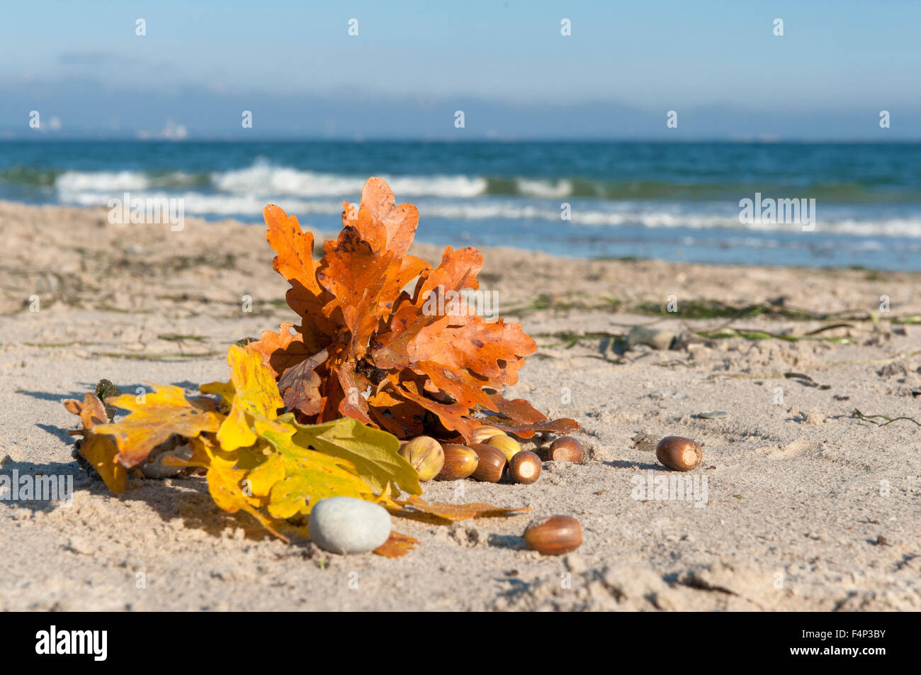 Free Downloads Quotes Wallpaper Mobile Coloured Oak Leaves Found In Autumn On The Beach Of