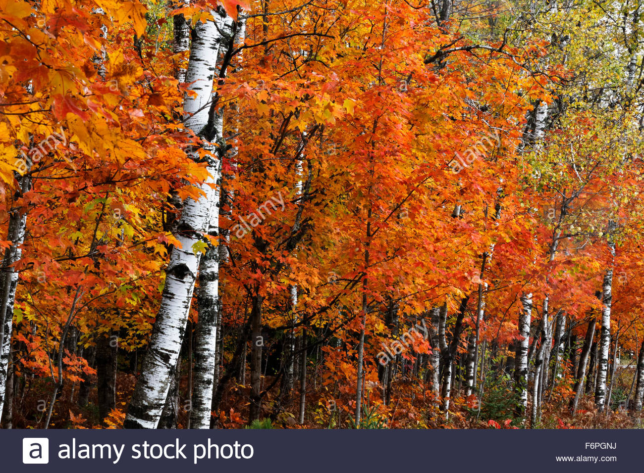 Autumn Fall Live Wallpaper Suger Maple Leaves And White Birch Tree In Autumn