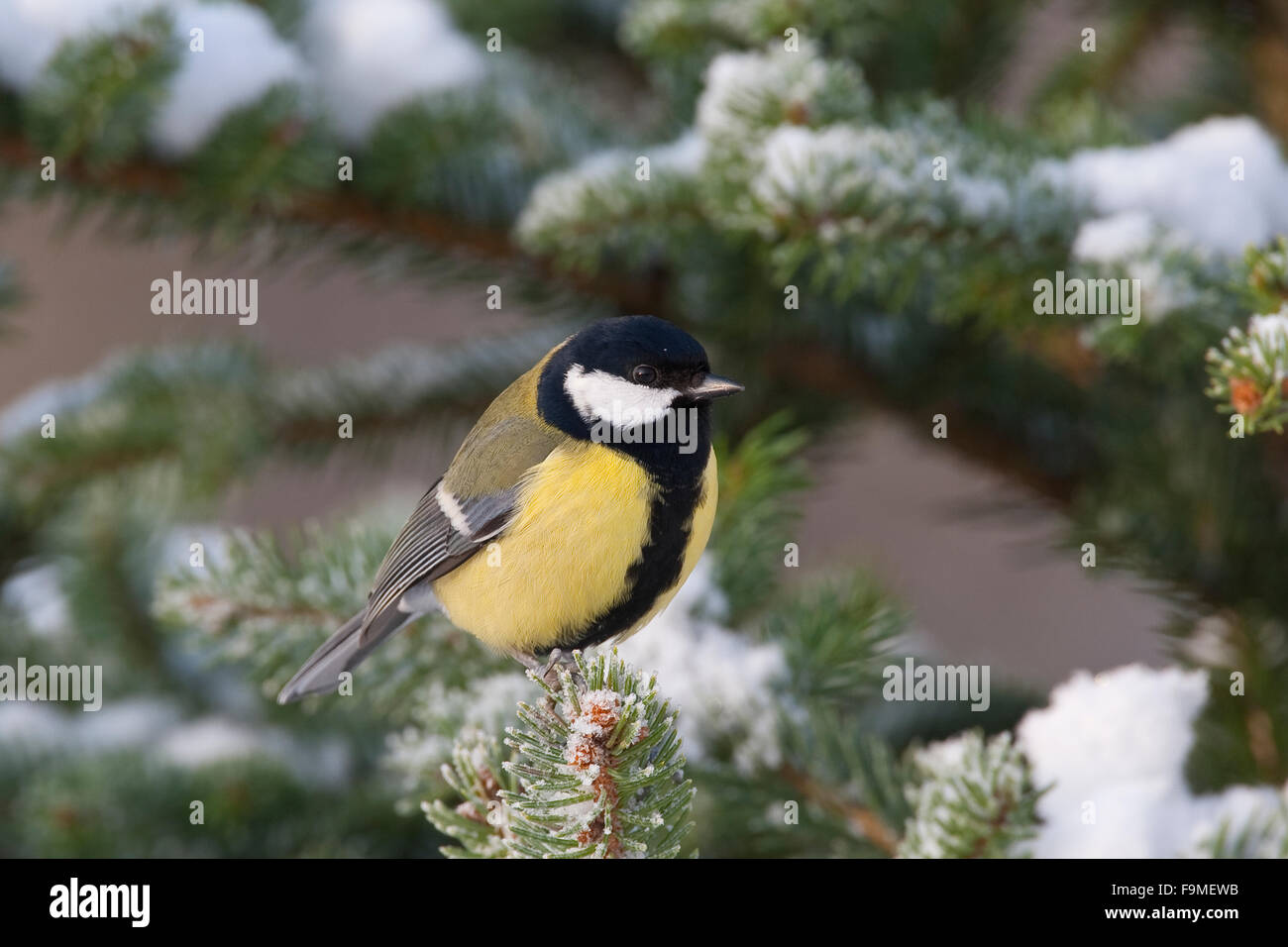 Kohlmeise Winter Great Tit Snow Winter Kohlmeise Kohl Meise Winter Schnee Stock