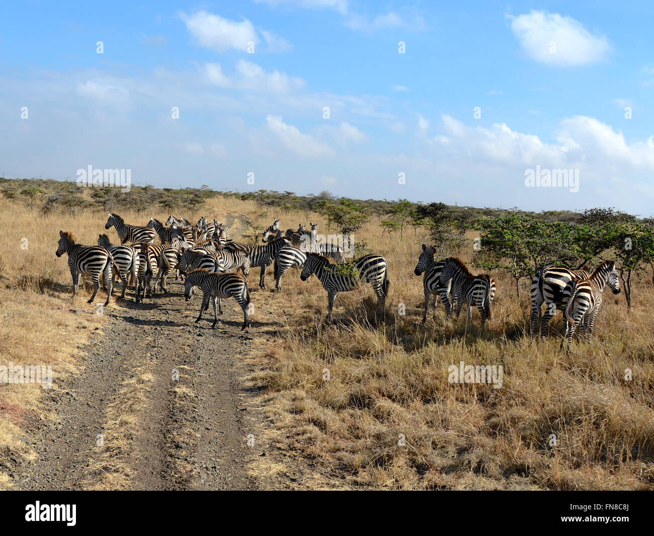 Obi Herd Africa Kenya Flanked By Ant Filled Whistling Thorn Acacia Stock