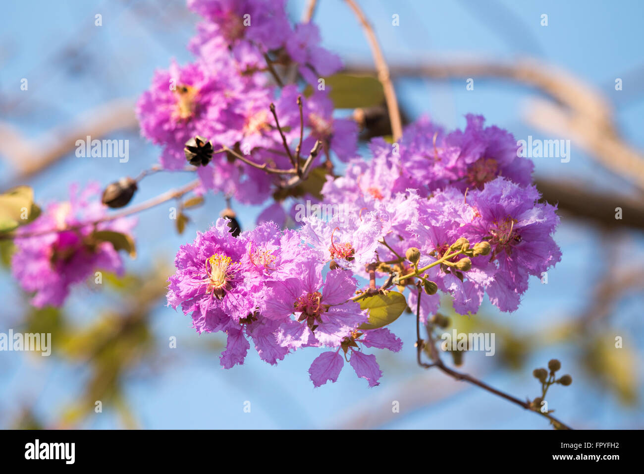 Bachelor Button Plant Flower Medicinal Uses Flowers In India Stock Photos & Flowers In India Stock