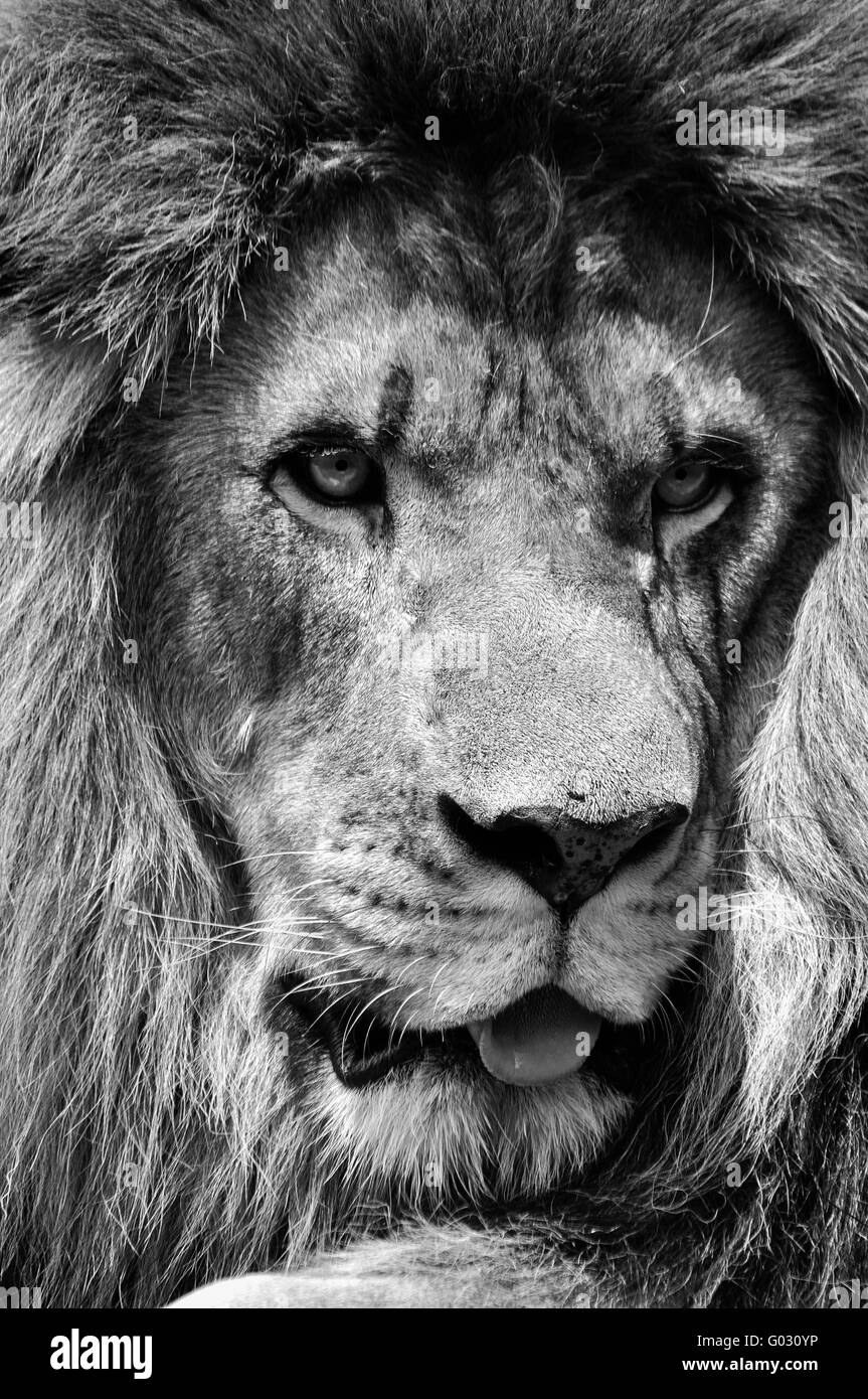 Grayscale Girl Wallpaper Powerful Black And White Male Lion Face Closeup In High